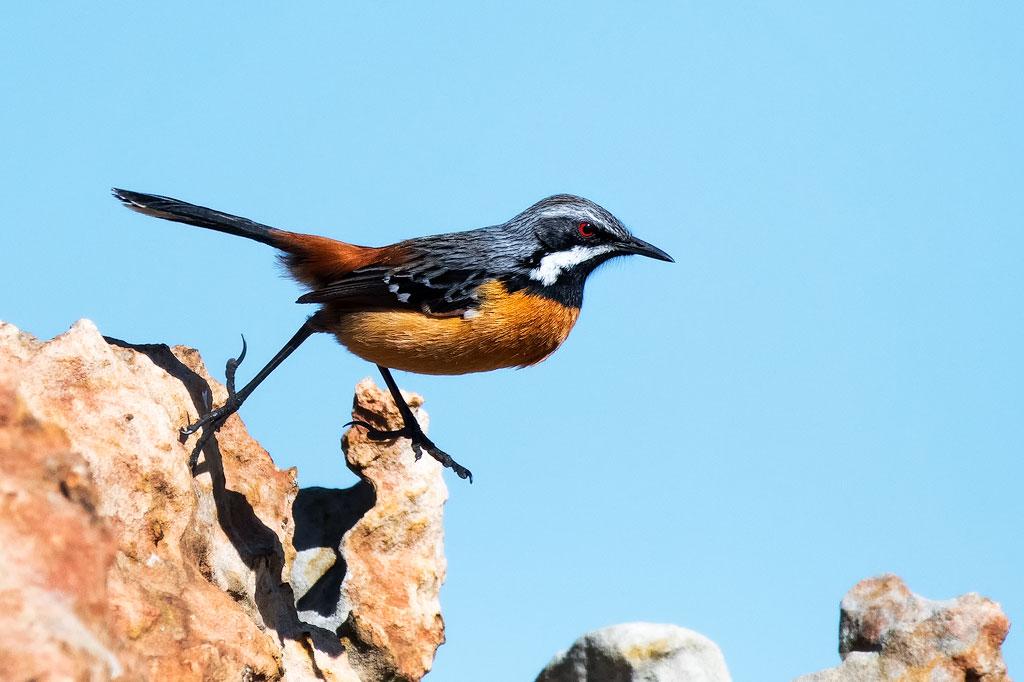 Drakensberg Rock Hopper (Photo By: Mart-Mari Duvenhage)