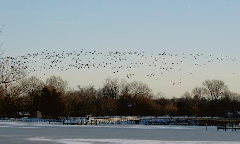 geese(2).jpg