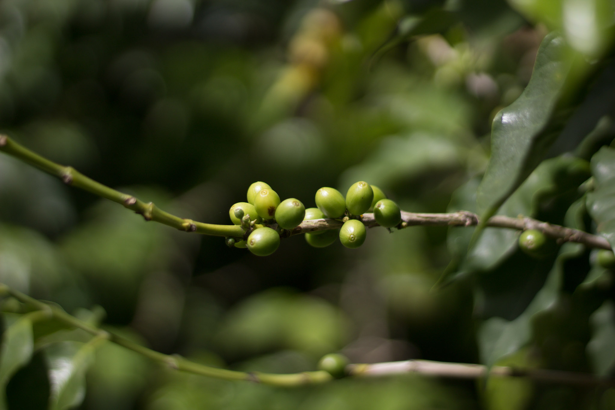 A close up of the coffee beans growing at Green World Coffee Farm.