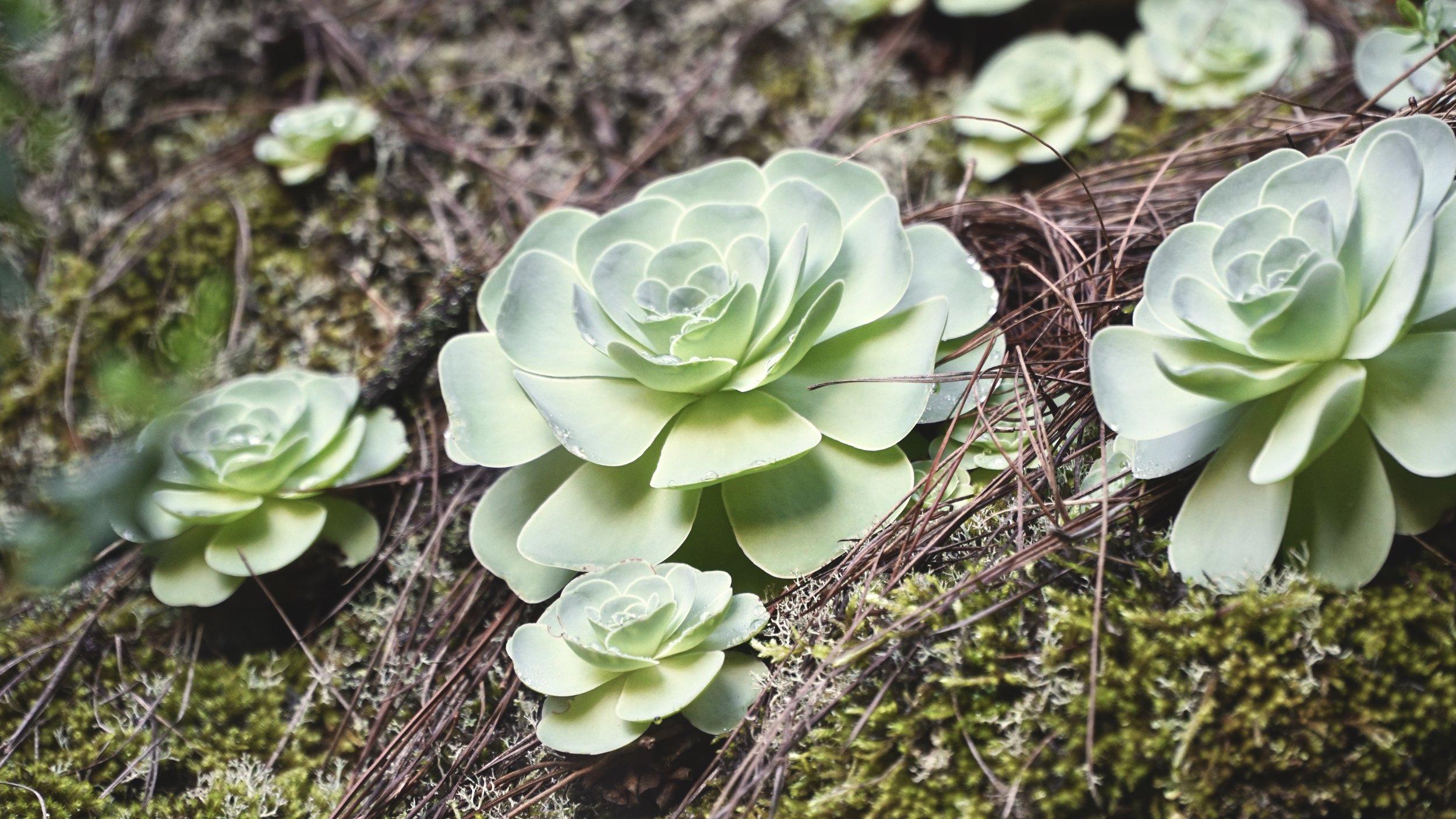 En klassisk sukkulentplante som findes i mange danske hjem - her vildtlevende i nåleskoven. Nogle steder var der hele vægge af planten.