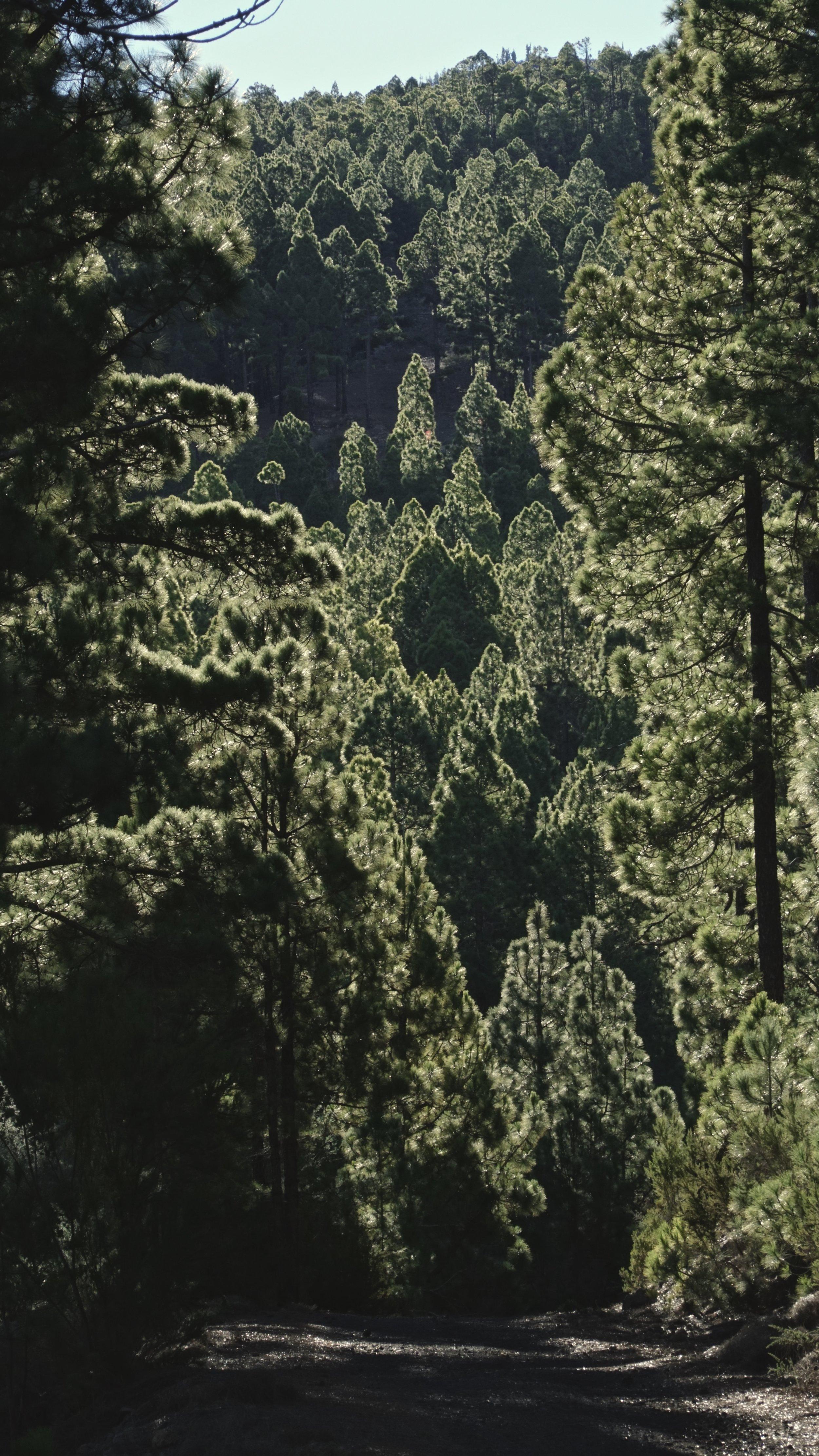 Modlys i fyrretræerne
