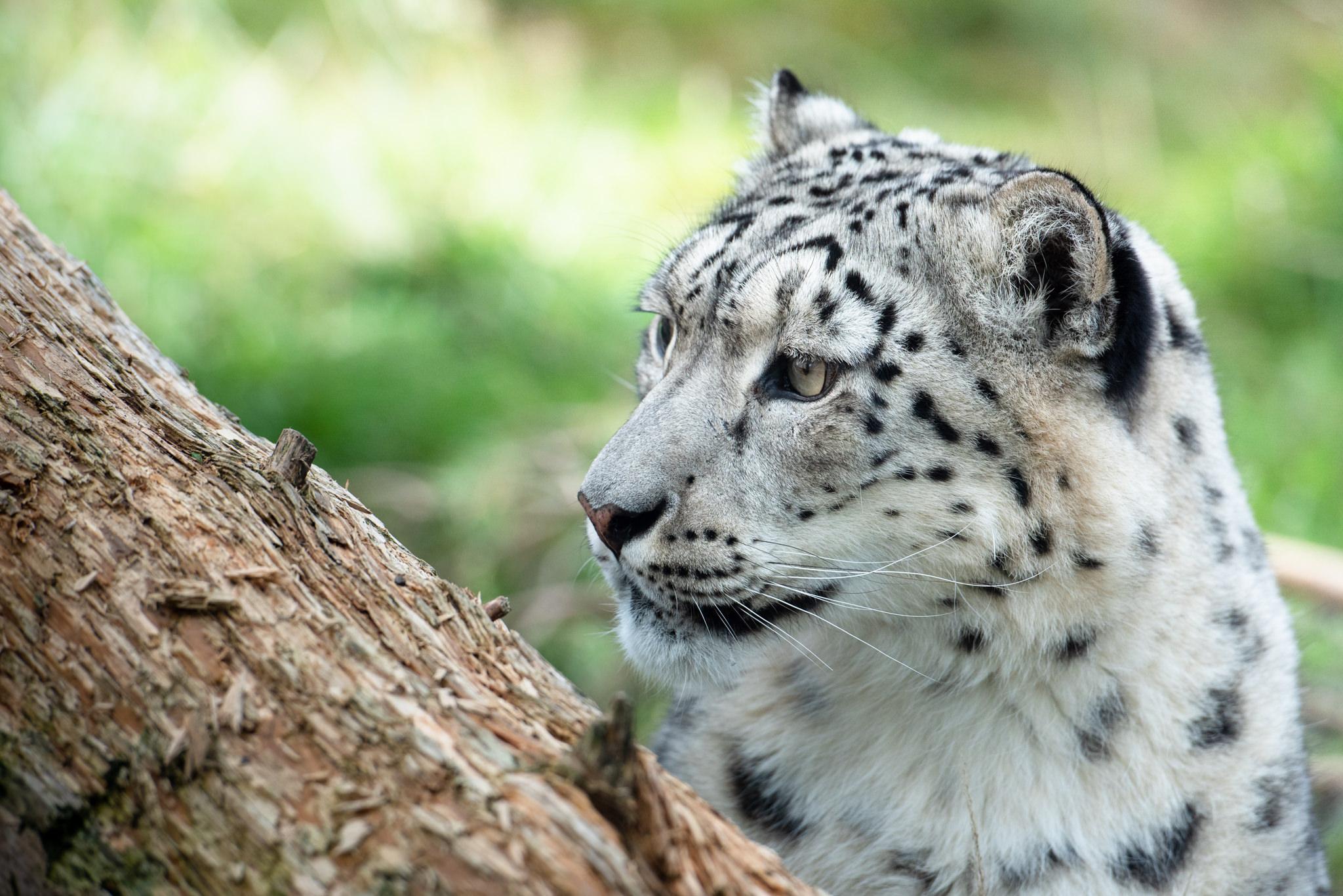 highland-wildlife-park-snow-leopard.jpg