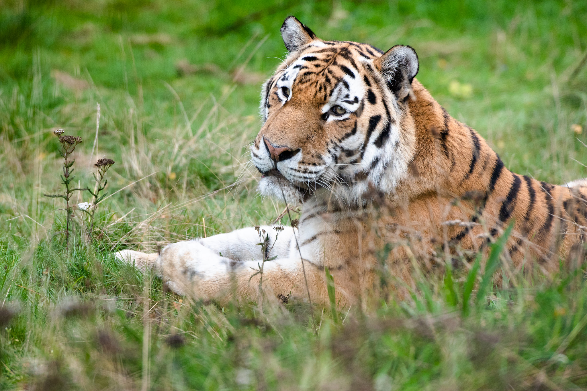 highland-wildlife-park-sitting-tiger-marty-3174-small.jpg