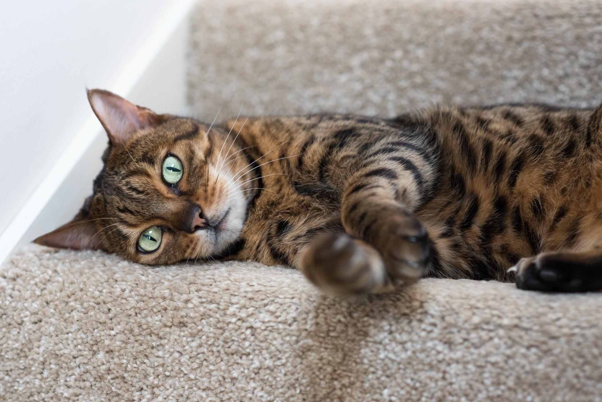 maggie-bengal-cat-stunning-glasgow-lying-on-stairs.jpg