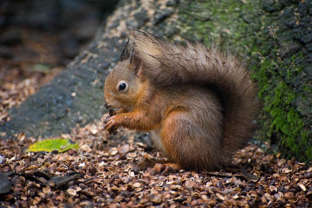red-squirrel-scotland.jpg