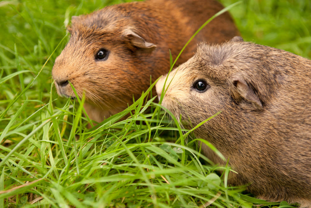 Rolf and Fozzie, my 5 month old guinea pigs.