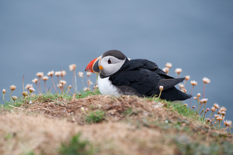 sitting-puffin-treshnish-islands-scotland.jpg