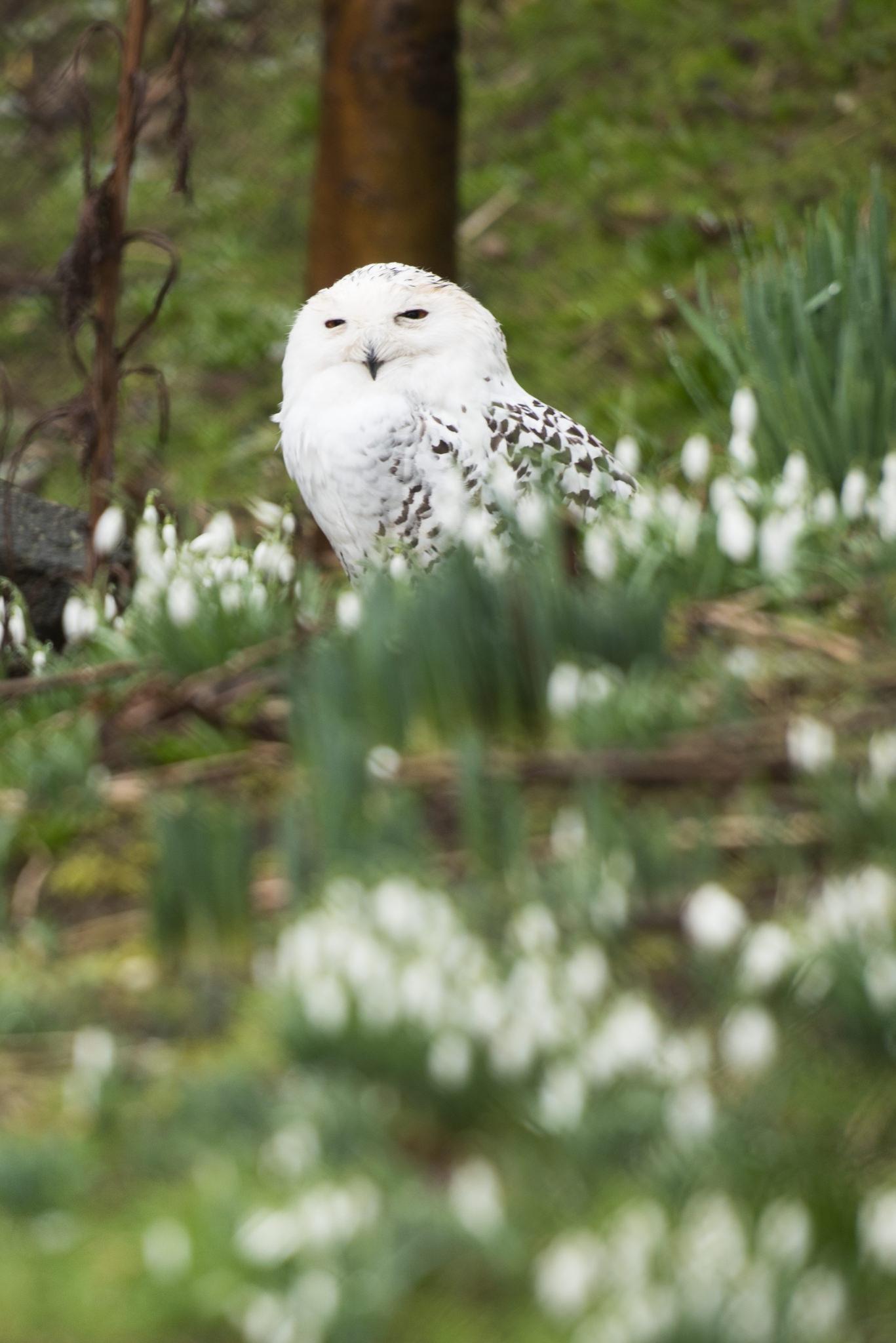 snowy-owl-edinburgh-zoo-3054-web.jpg