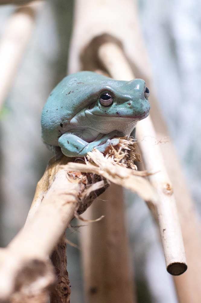 tree-frog-st-andrews-aquarium-scotland.jpg