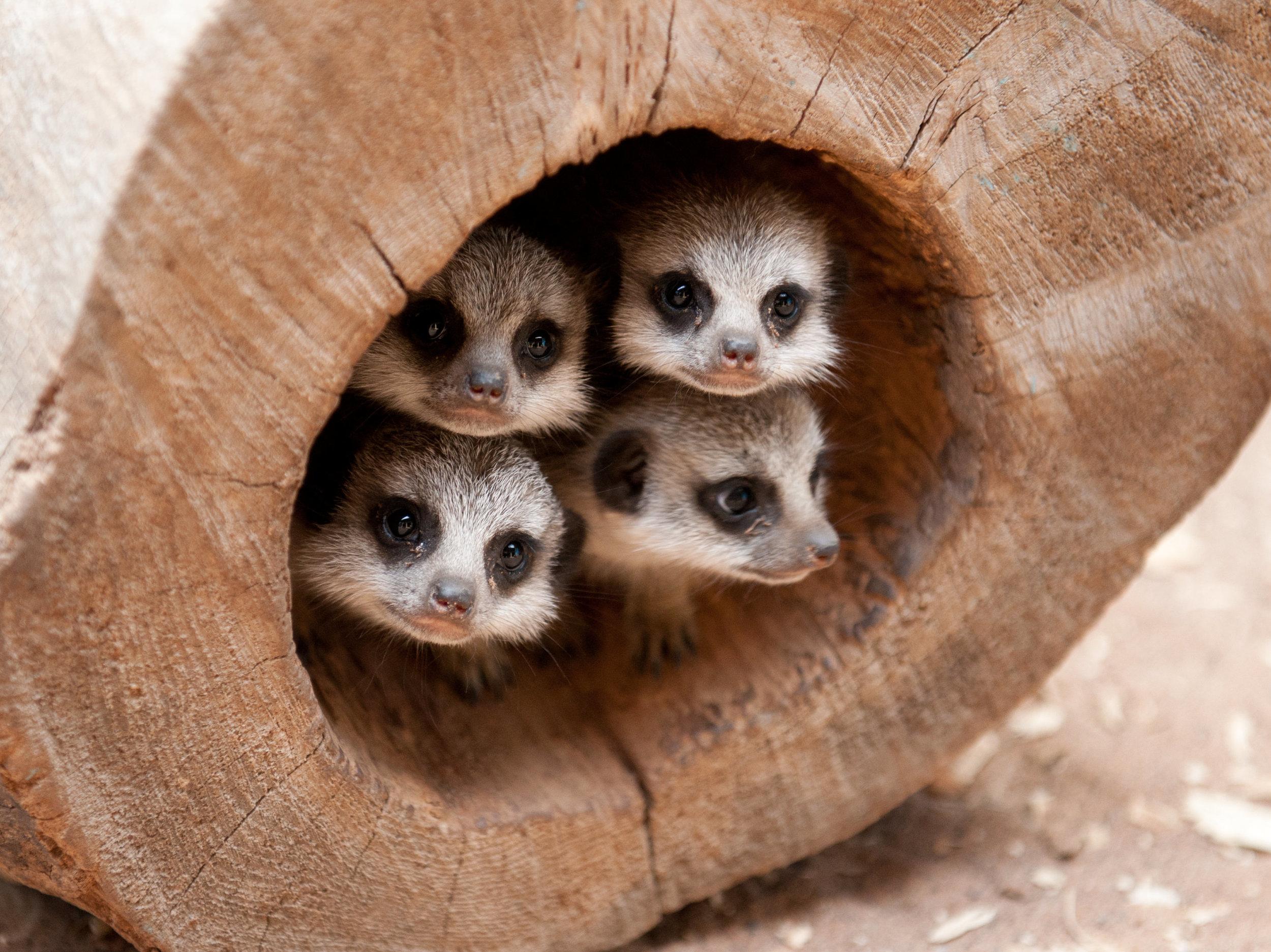 New baby meerkats at St Andrews Aquarium, Scotland.