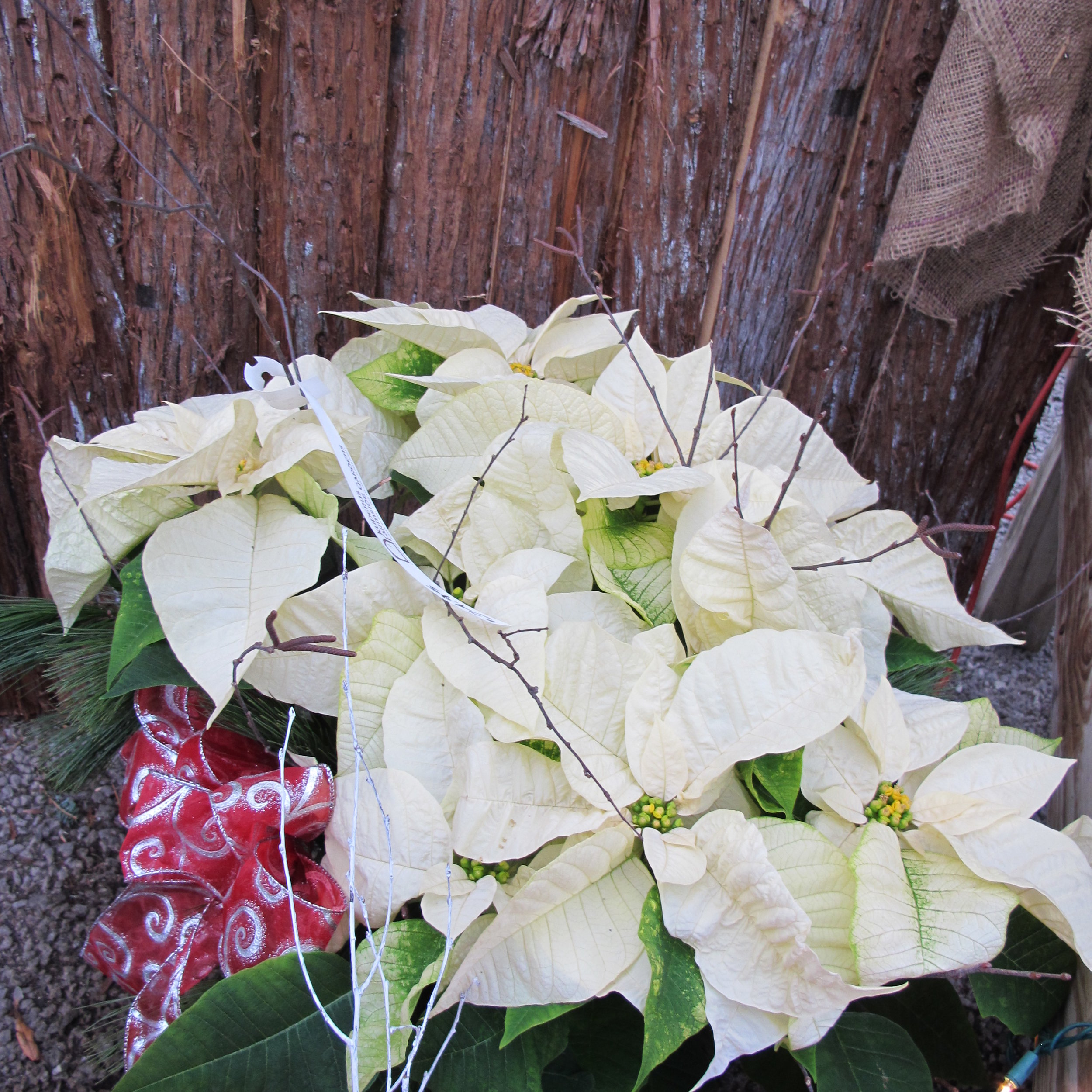 P- White poinsettia decorated.JPG