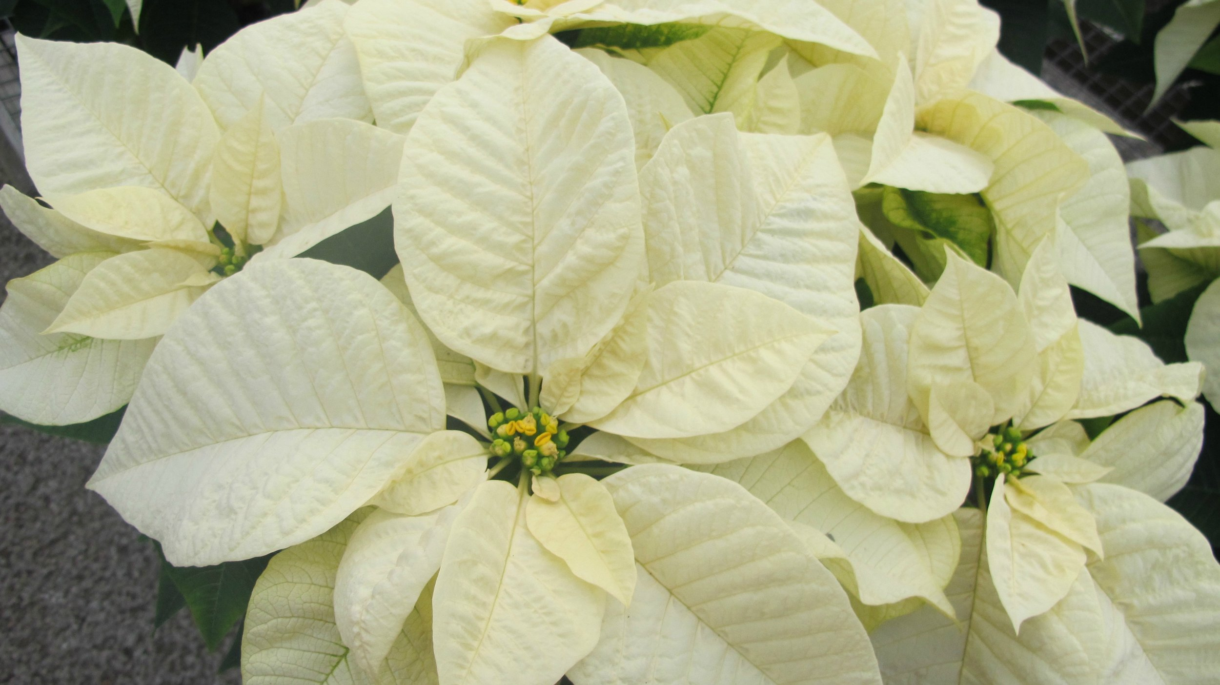 P- White Poinsettia.jpg
