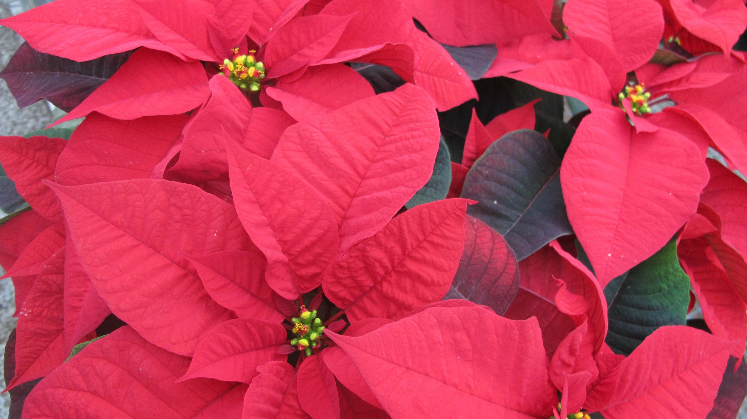 P- Red Poinsettia.jpg