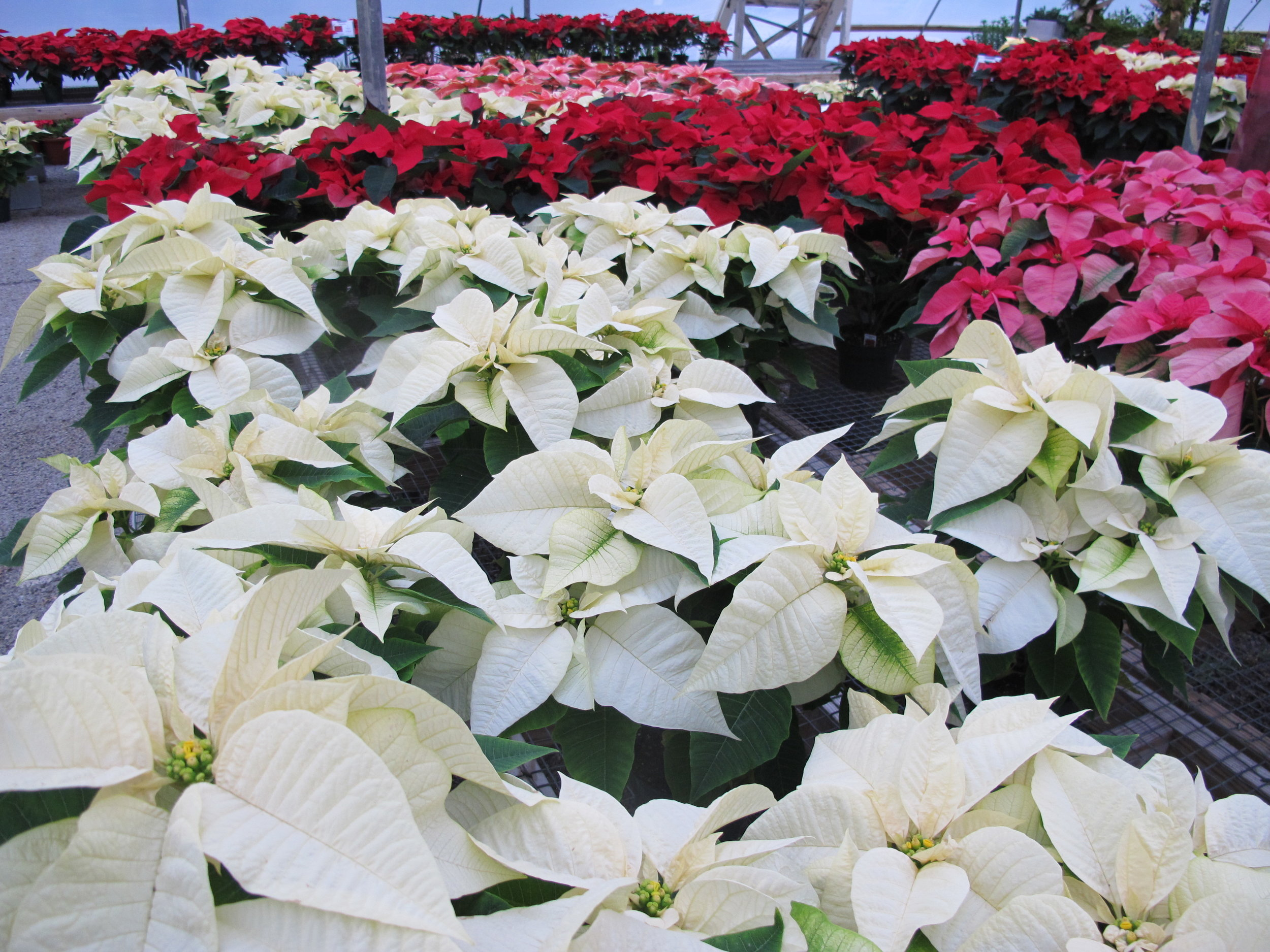 P-Greenhouse of poinsettias.JPG