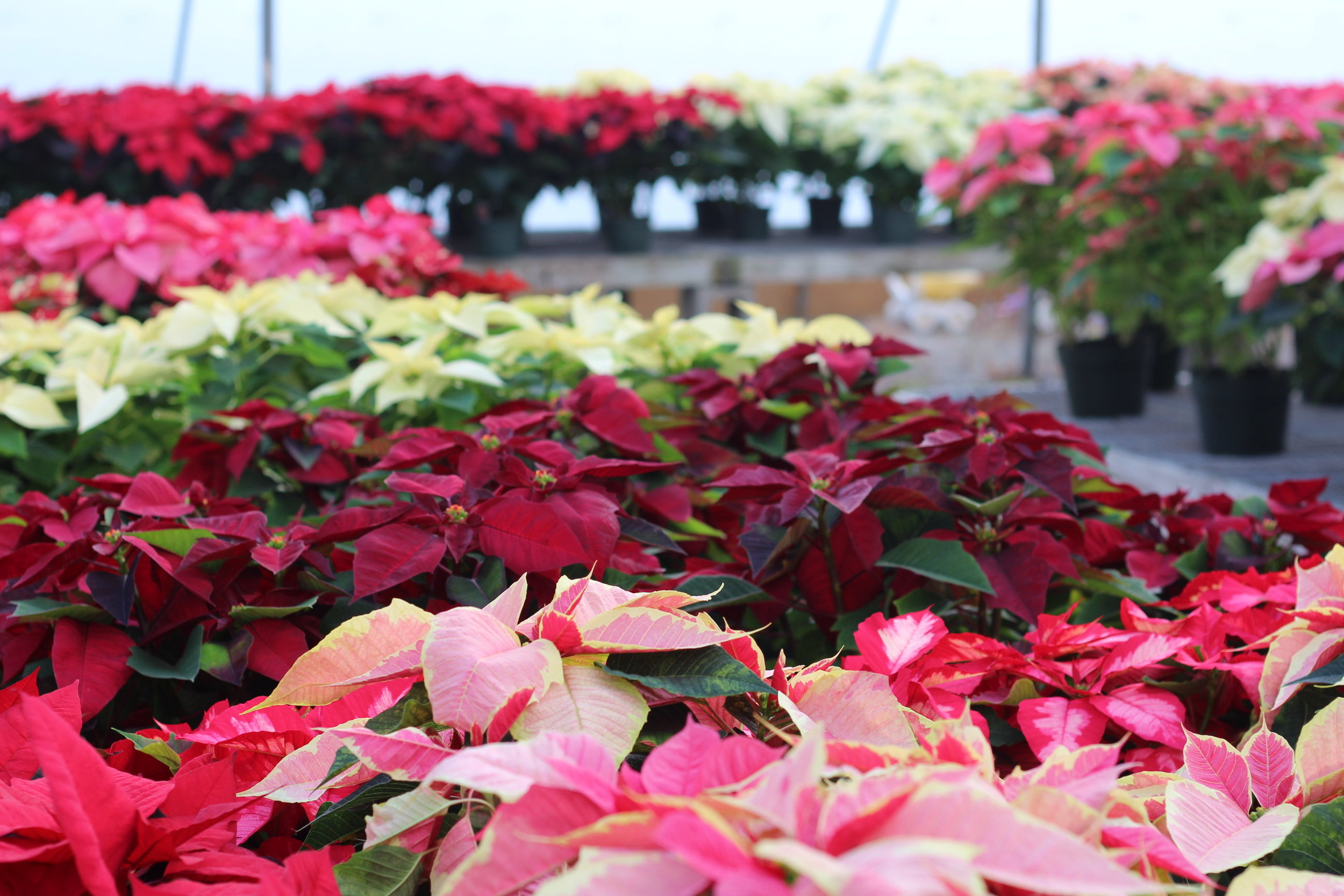 P- Poinsettia close up in bundles.JPG