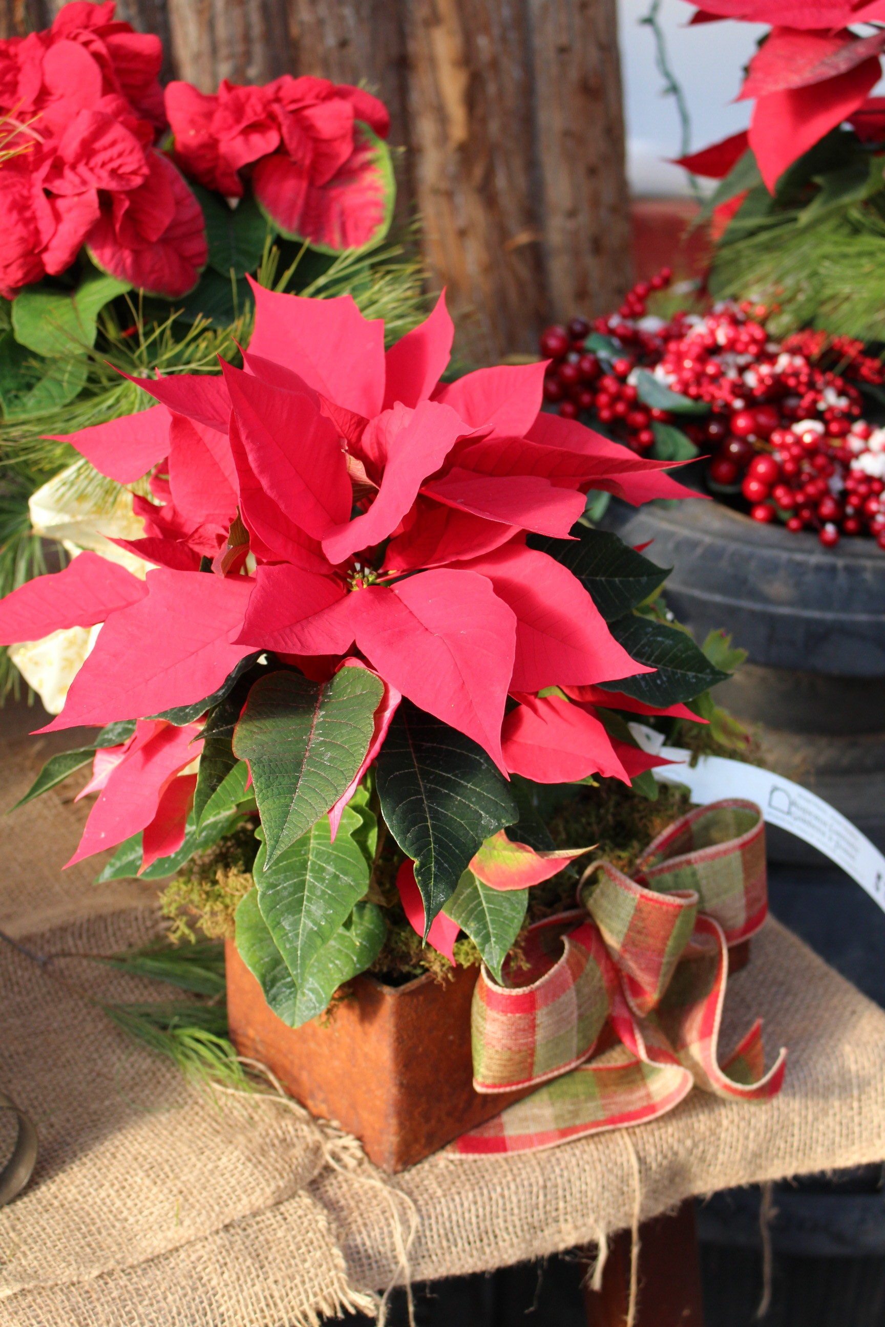 P- Poinsettia in box with bow.JPG