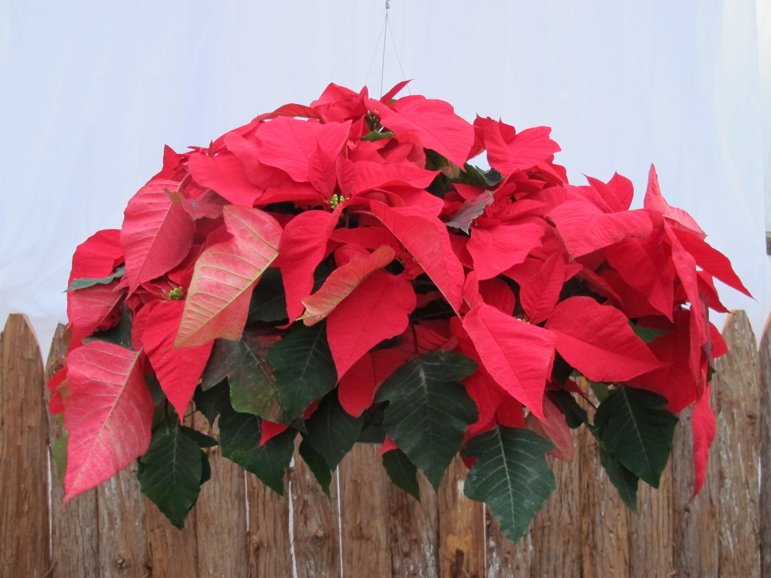 P- Red hanging poinsettia.JPG