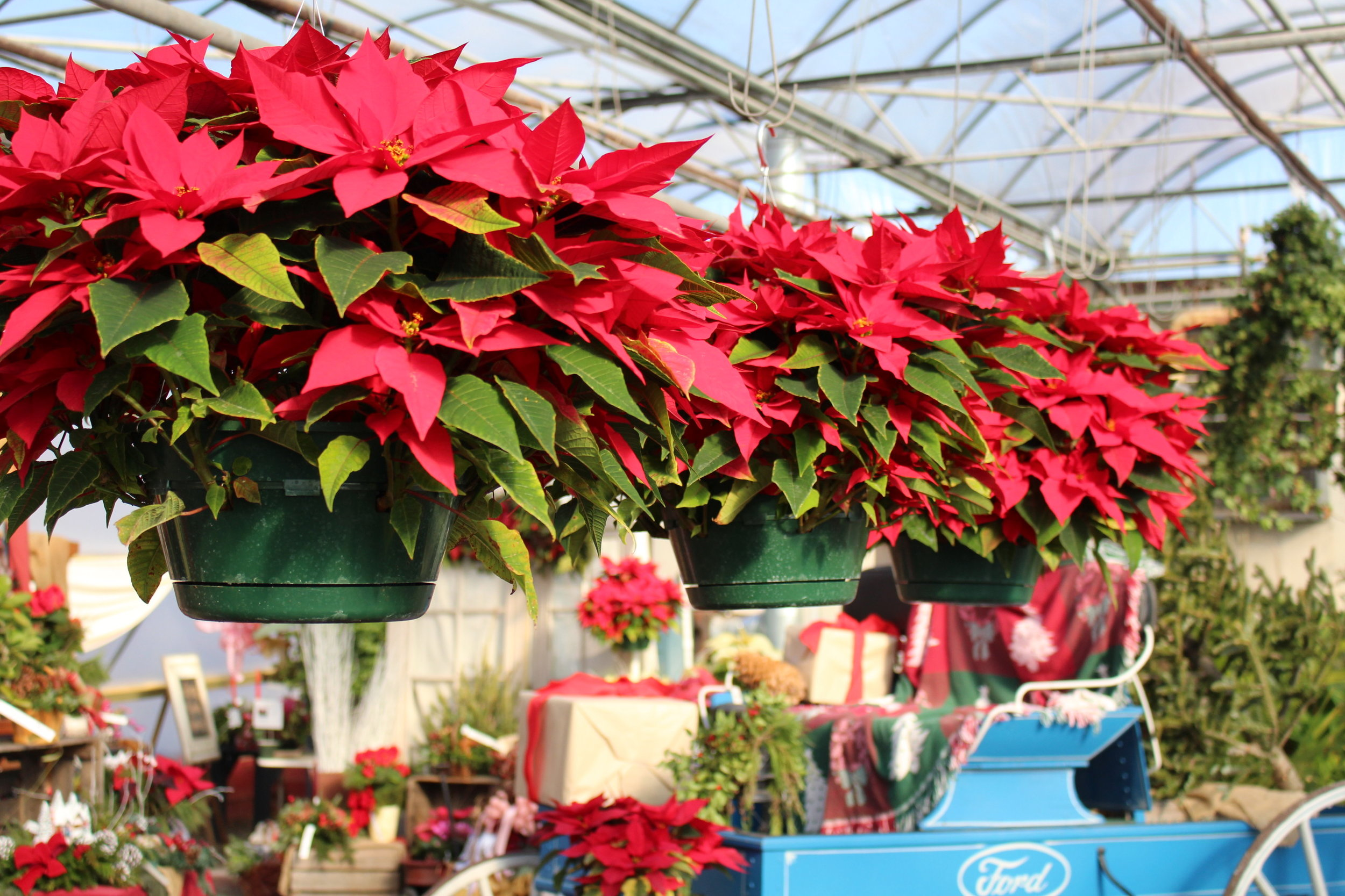 P- Poinsettias hanging in green house.JPG