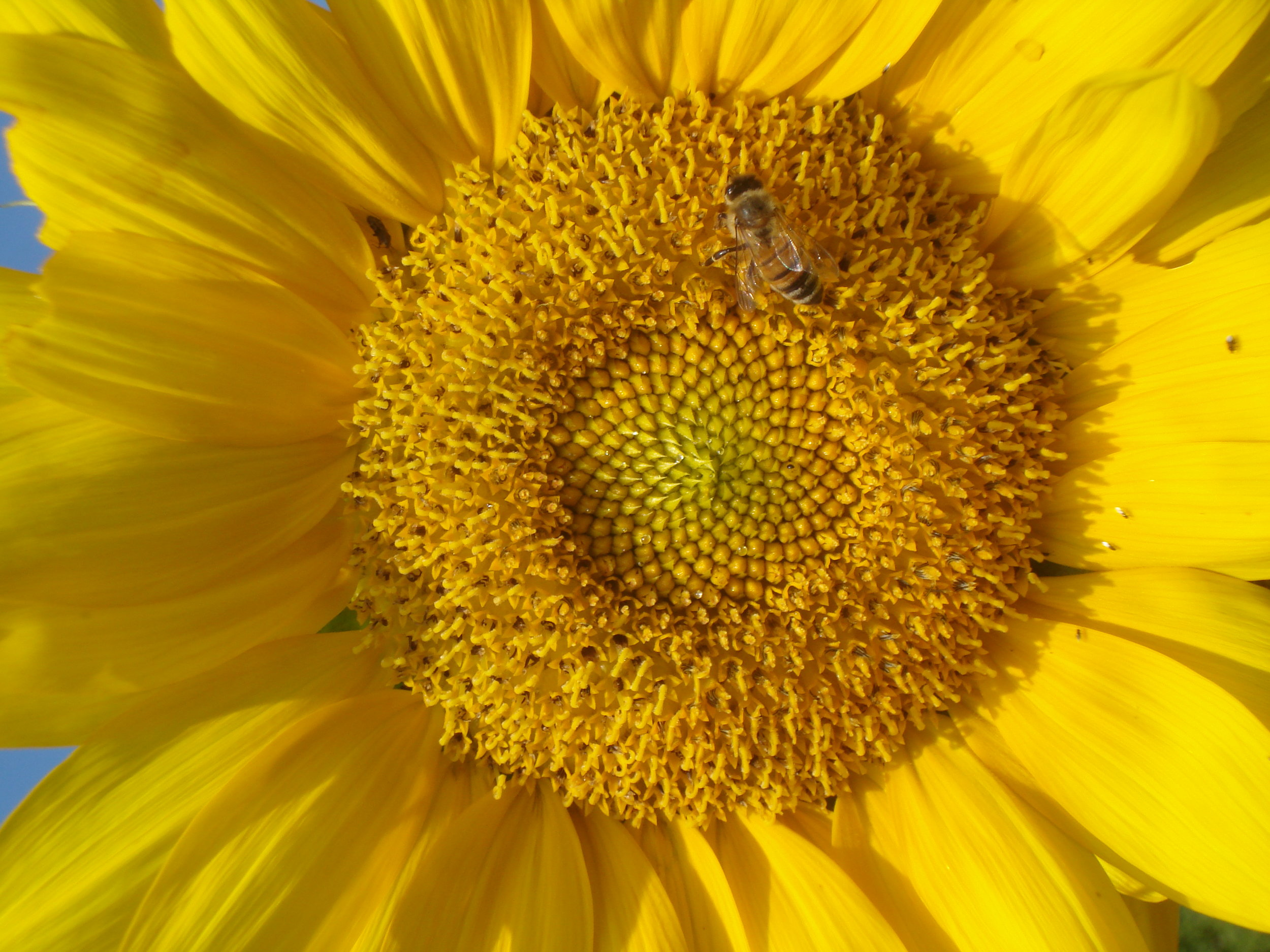 Honey bee on a sunflower.JPG