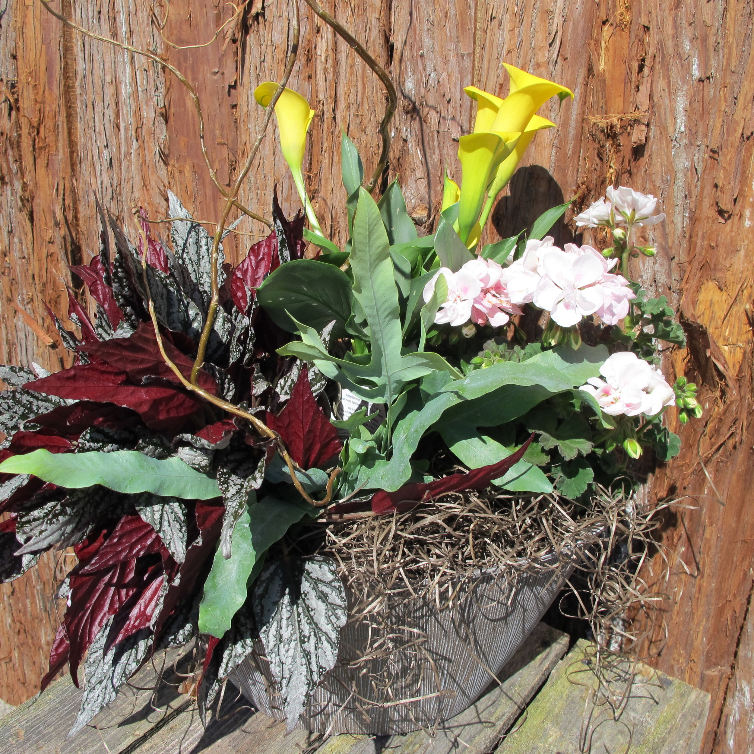 Calla geranium and foliage potted.JPG