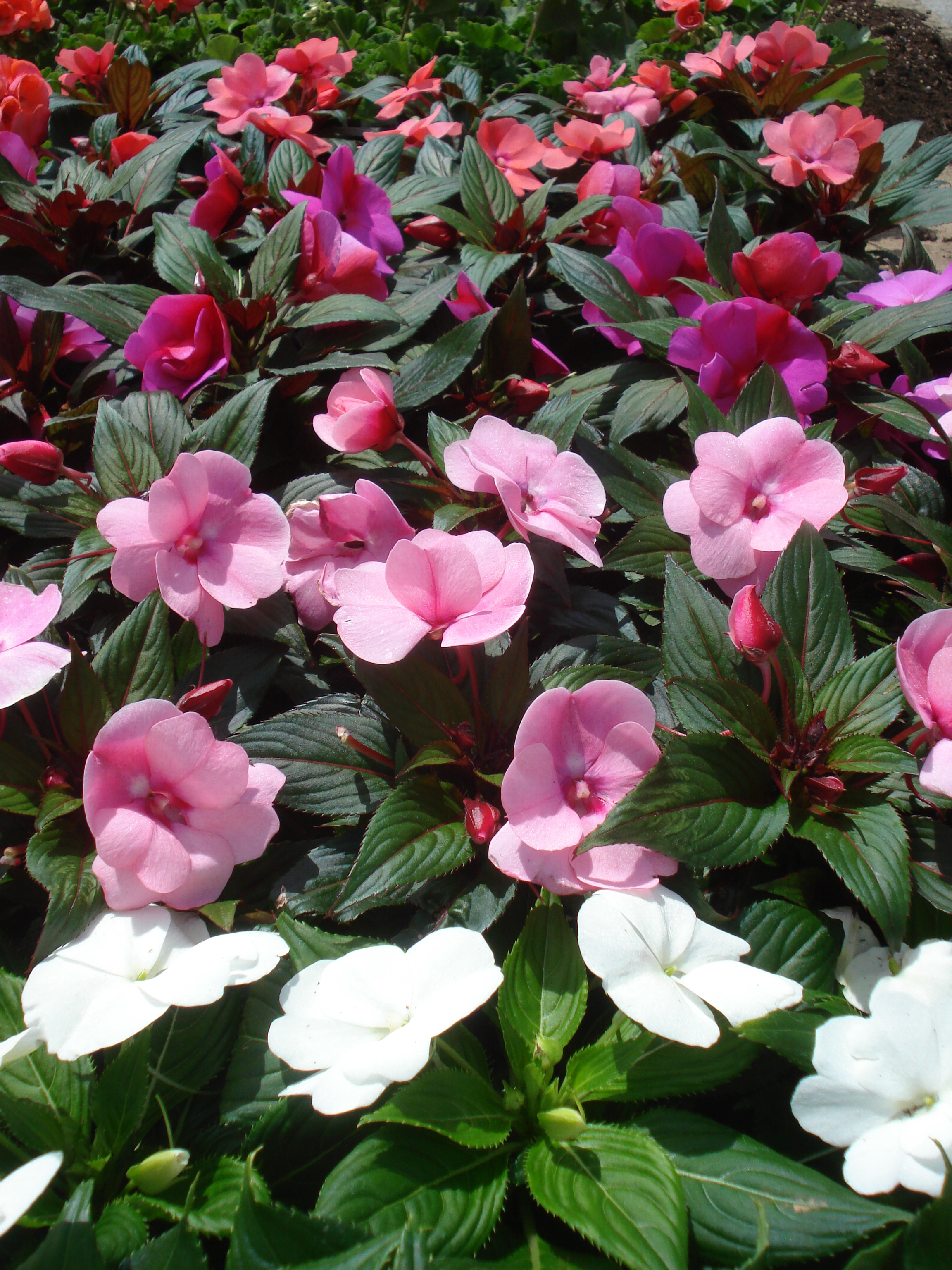 New Guine Impatiens.JPG
