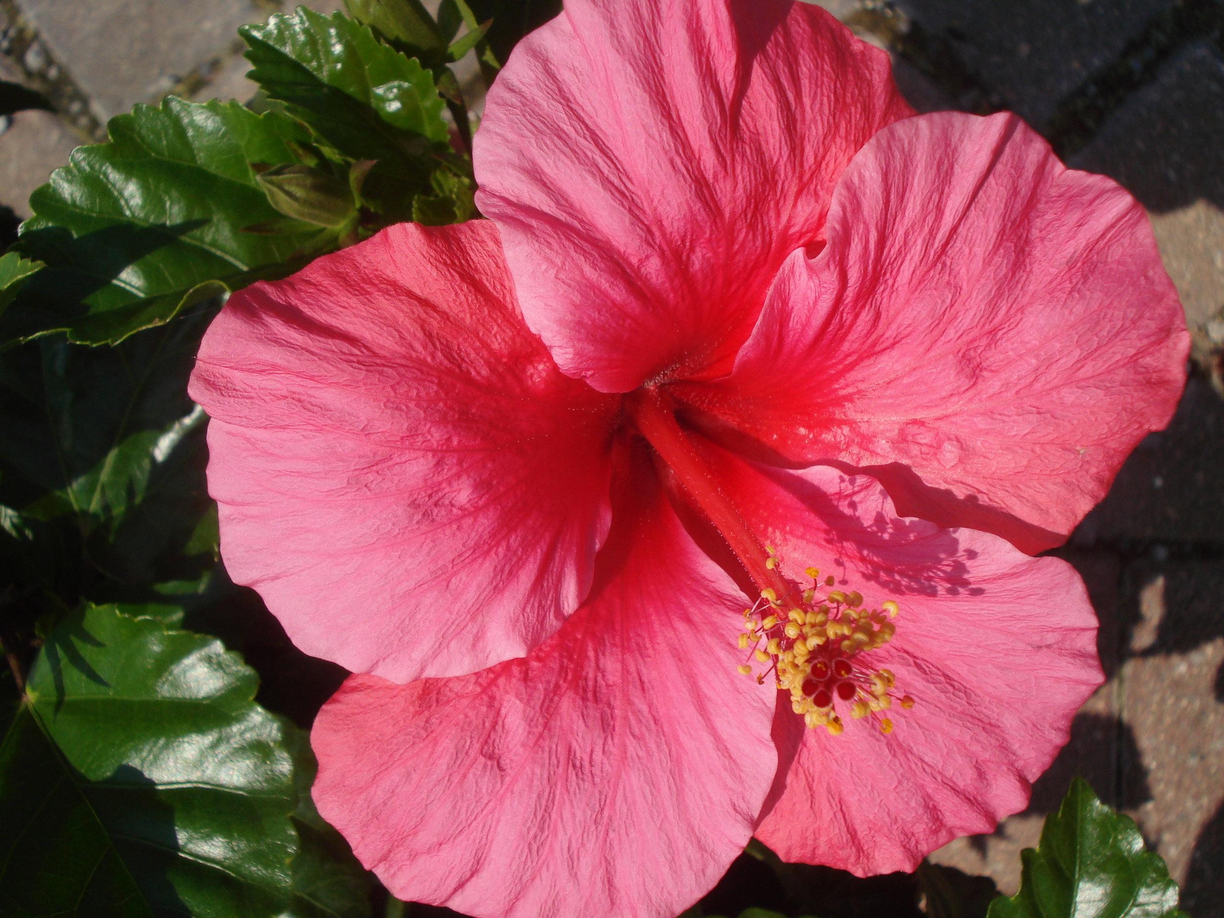 Pink Hibiscus.JPG