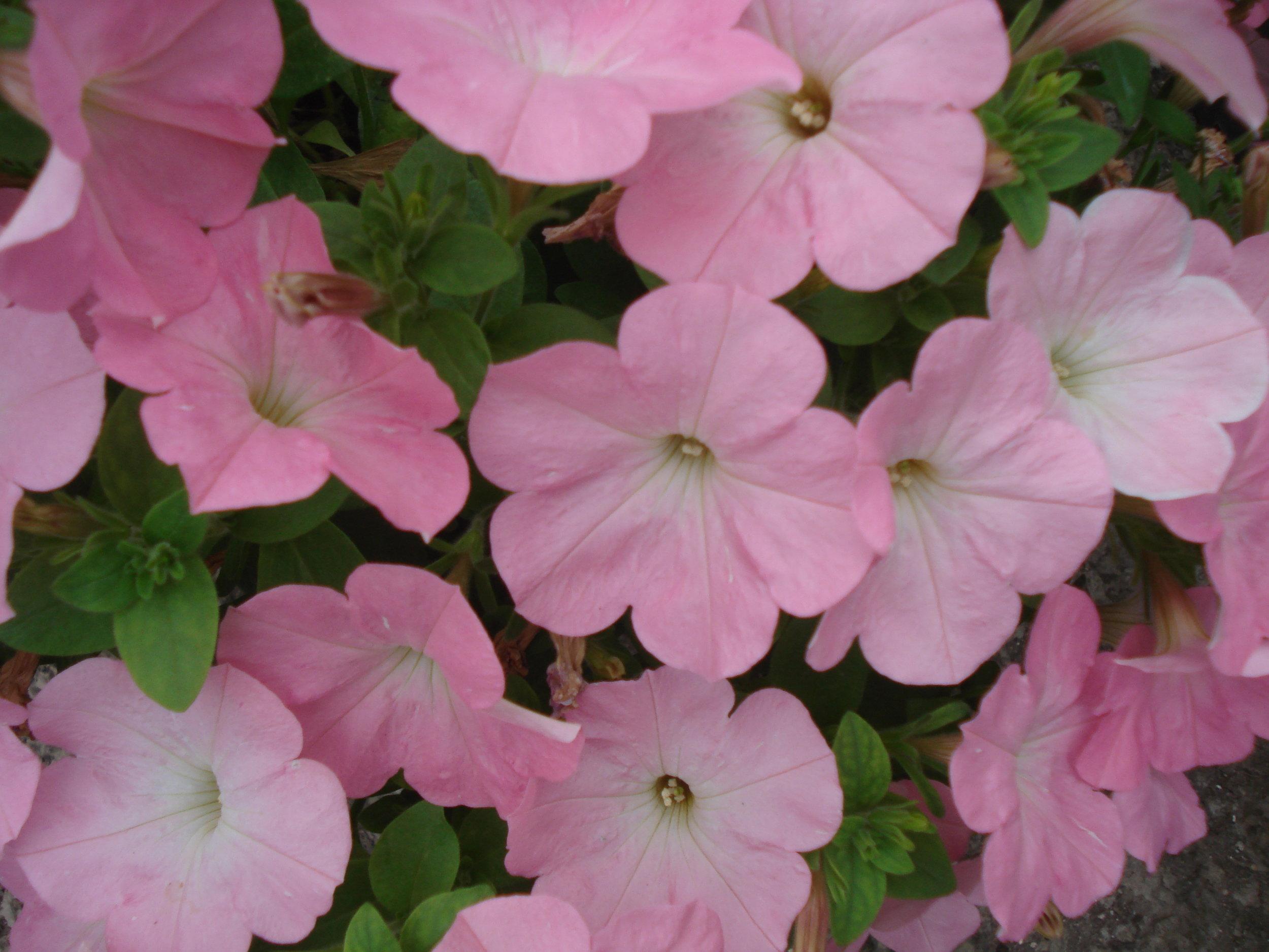 Pink Petunia.JPG