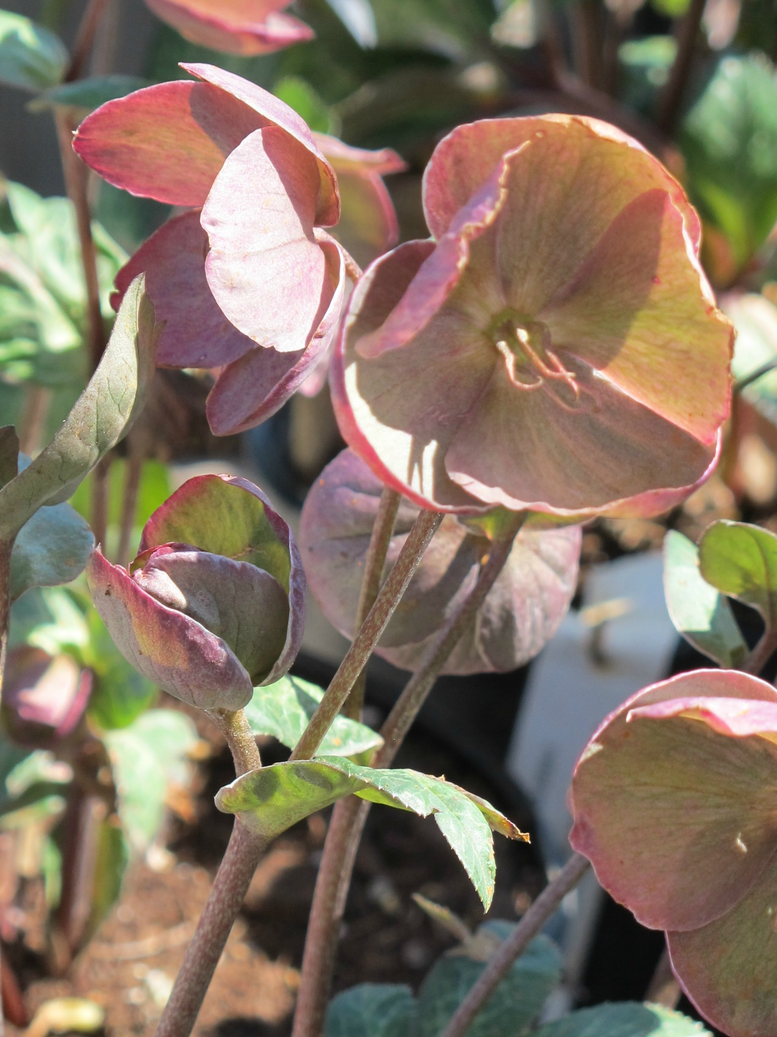 Close up of Helleborus.jpg
