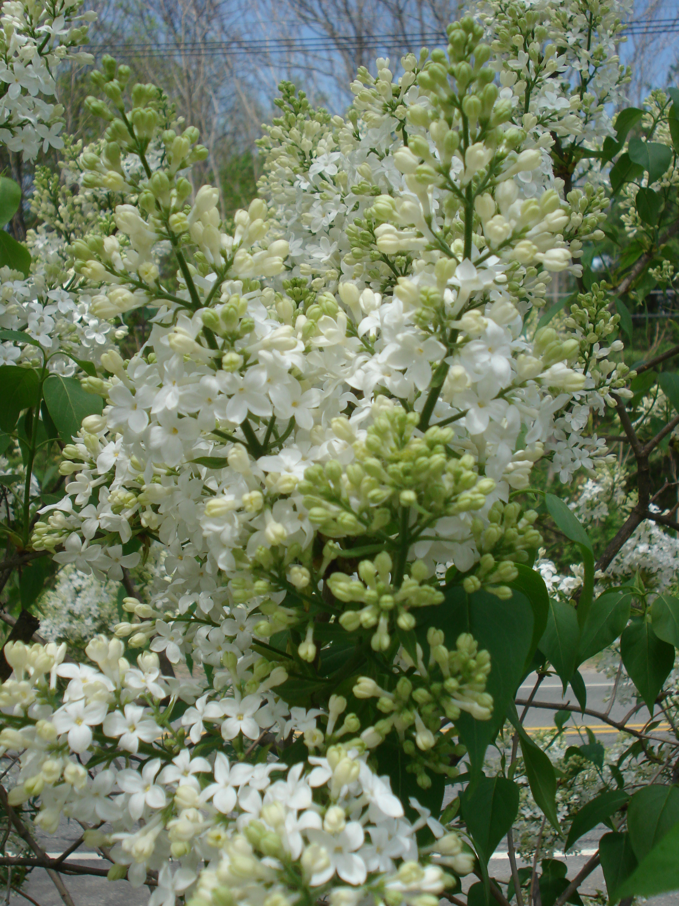 White lilac - close up.JPG