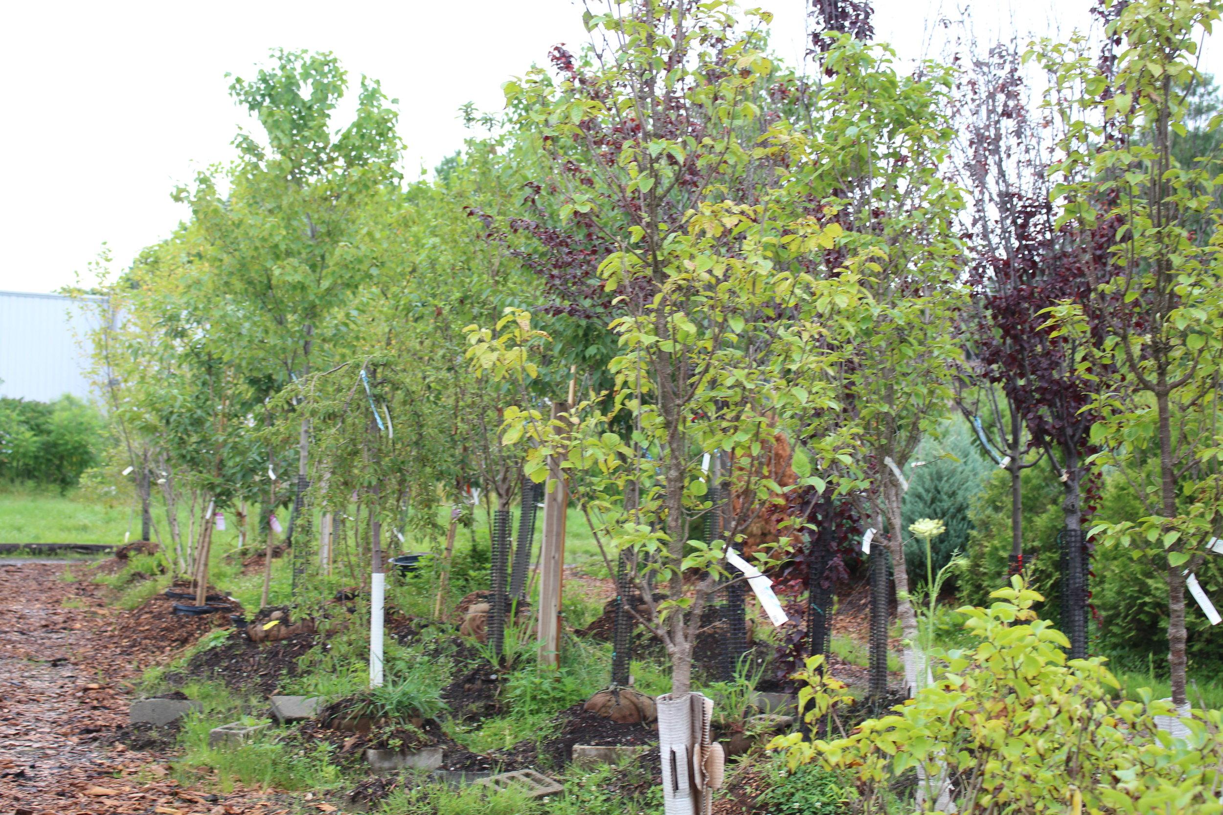 Shade Flowering Ornamental Trees And Conifers Farmside Gardens