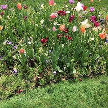 lovely spring tulips.jpg