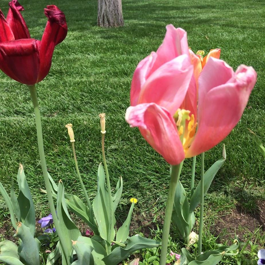 gorgeous tulips.jpg