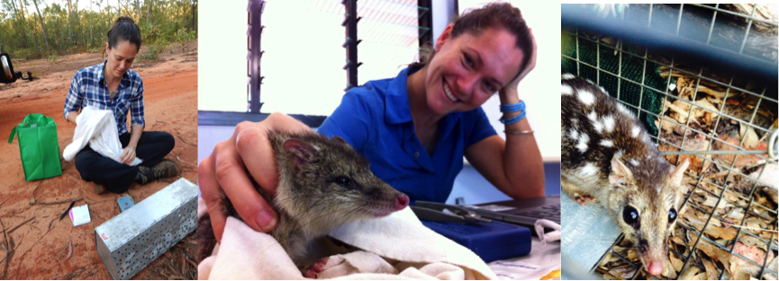 Trapping and processing Northern quolls – Groote Eylandt, NT