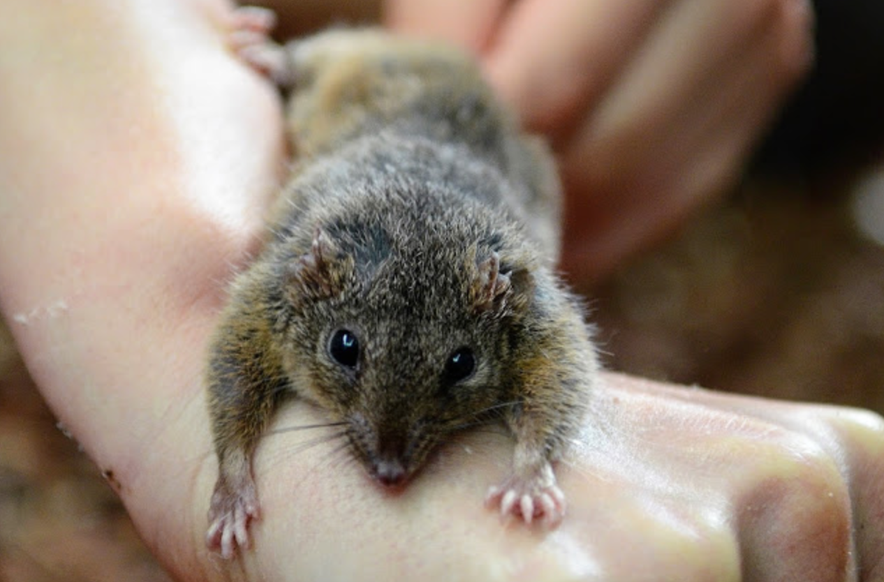 Male antechinus