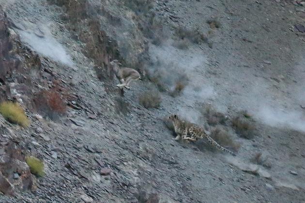 Photo credit:Snow Leopard Trust, Adam Riley