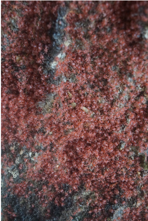 Baby red crabs on Christmas Island
