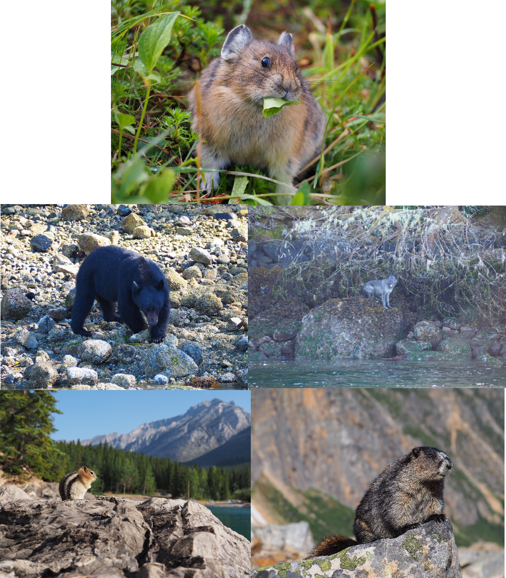 A collection of my favourite animal photos from my Rockie Mountains/Vancouver Island road trip, Canada. From the top going clockwise: Rockie Mountain pika; elusive wolf on Vancouver Island; marmot along the Edith Cavell hike, Jasper; Golden-mantled ground squirrel looking over Lake Minnewanka, Banff; black bear flipping rocks at Tofino, Vancouver Island