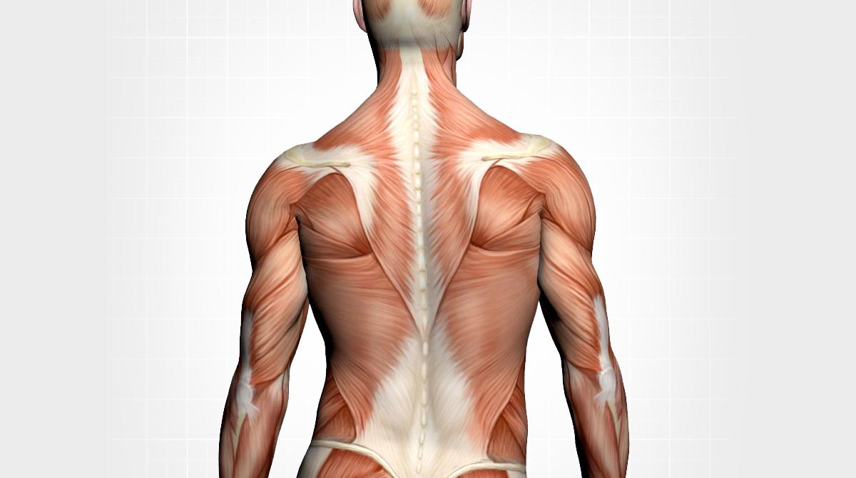 back muscles.jpg