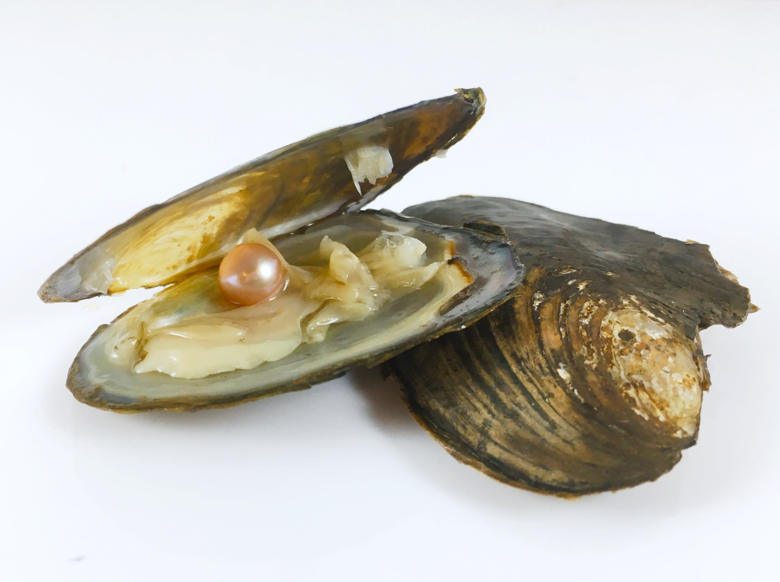 Cultured Pearl Oyster Openings and More... - Pearls, Charms, Keychains and More!