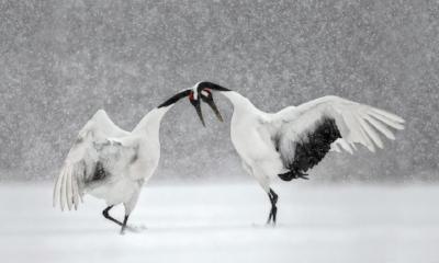 Cranes_couple_snow.jpg