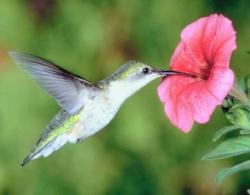 hummingbird_big.jpg