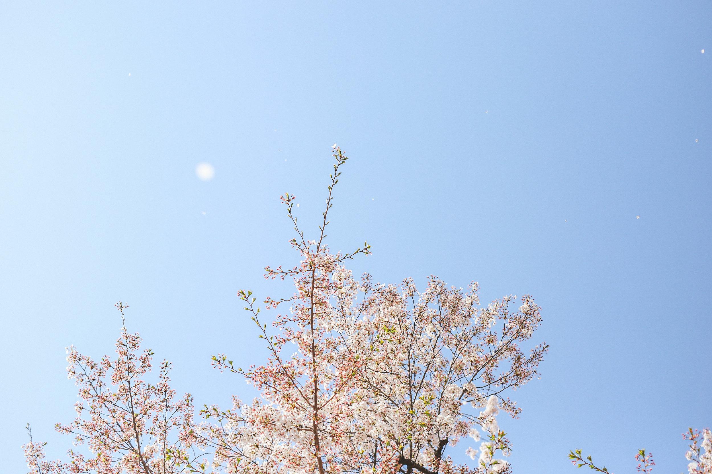 青空と桜吹雪フォト