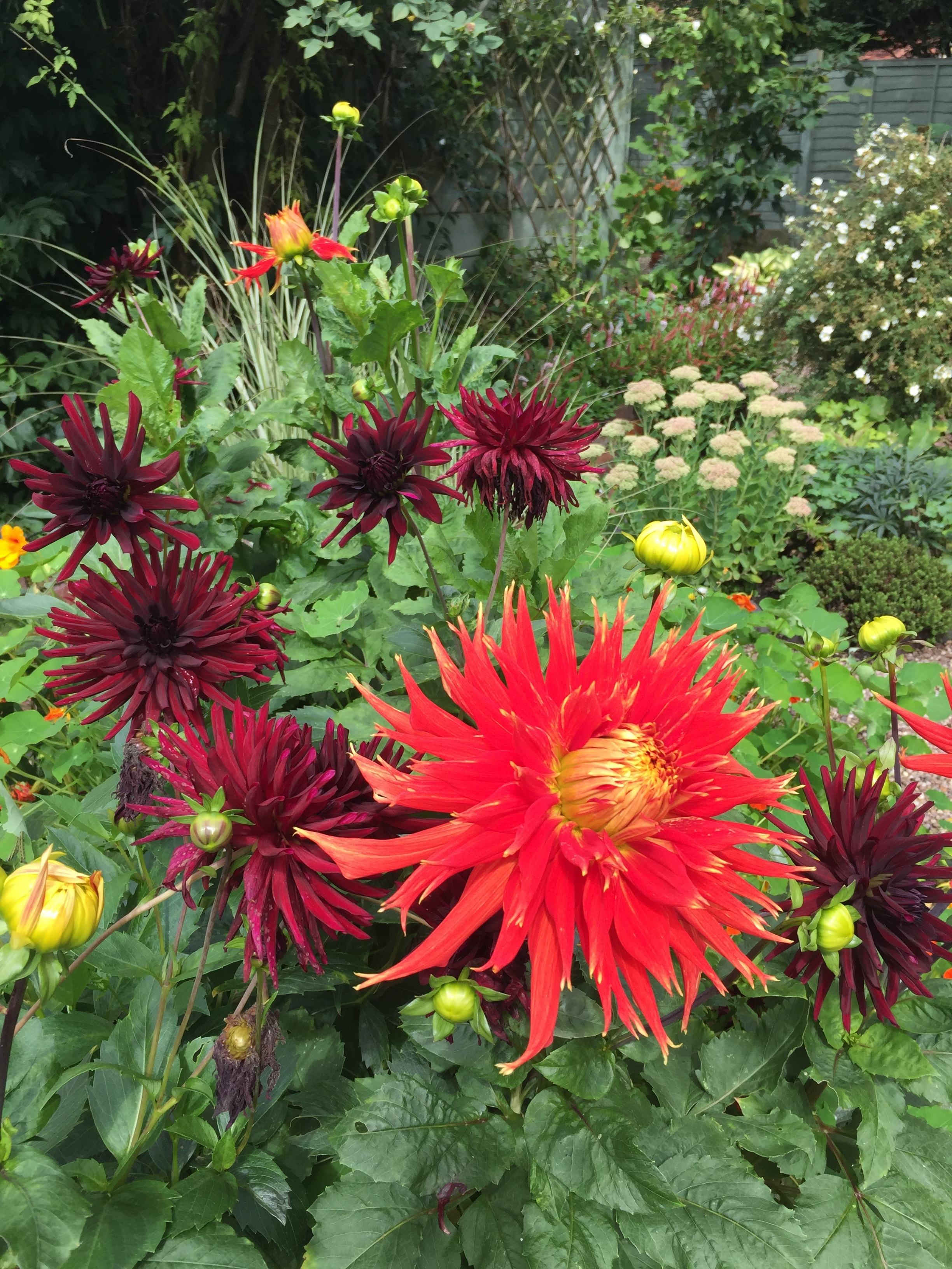 Dahlia 'Show and Tell'in my mum's garden.