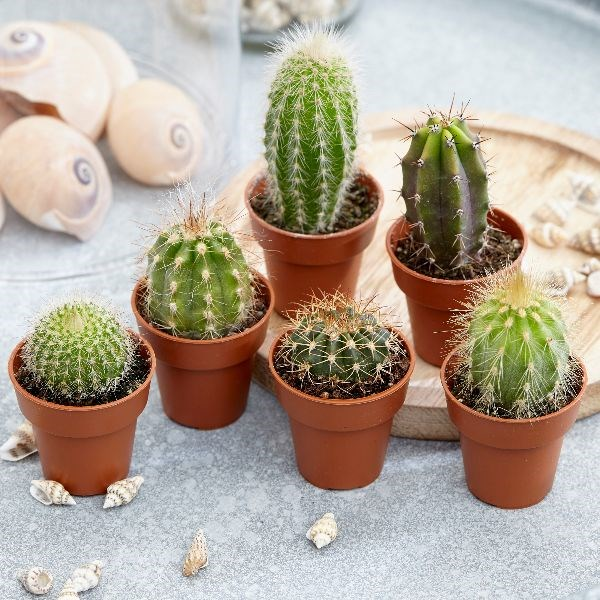 Love this 6 set of Cactus plants by Waitrose; and the best part is that you can add a personal touch by DIY'ing the pots.