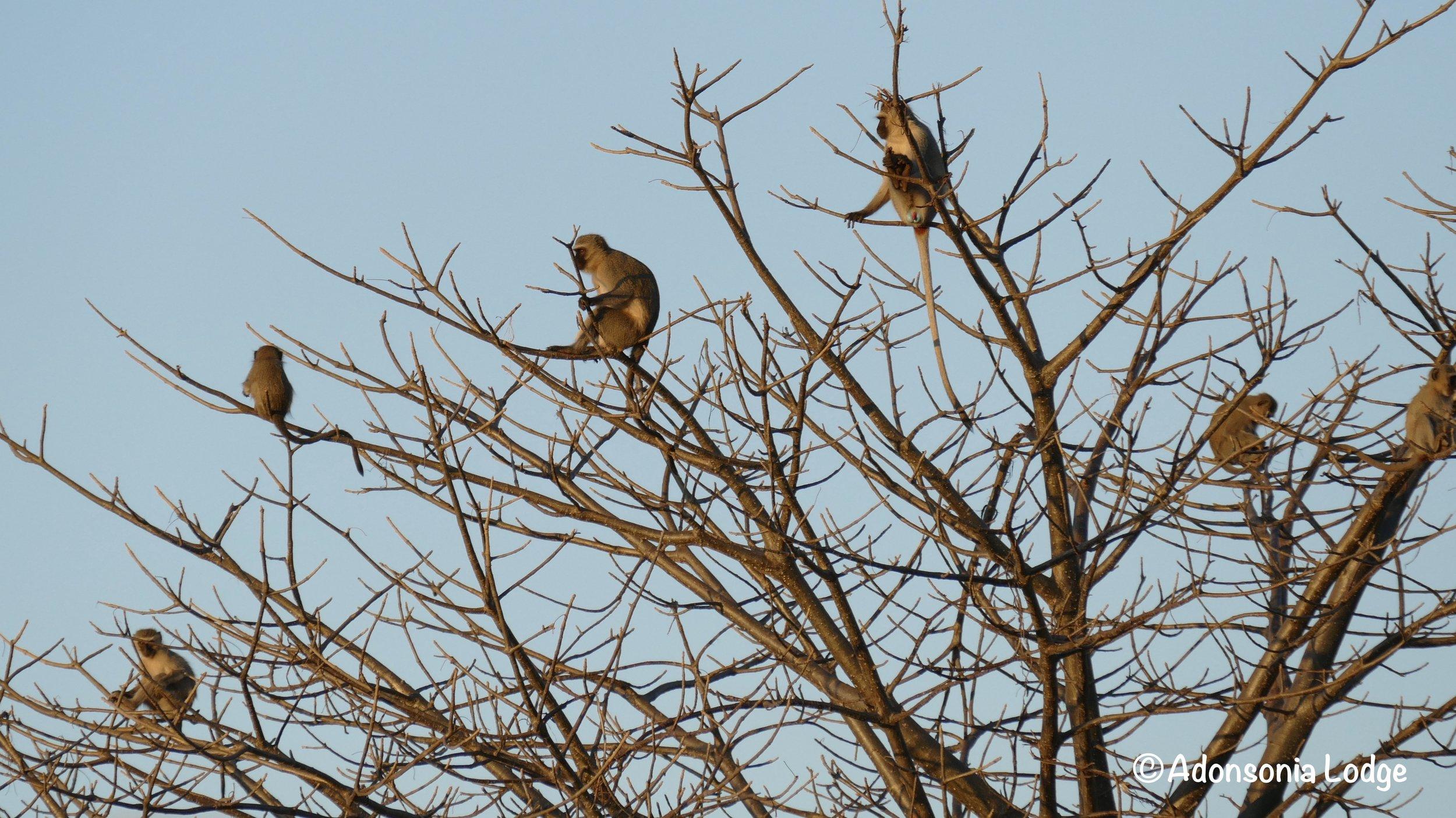 Monkeys on the lookout
