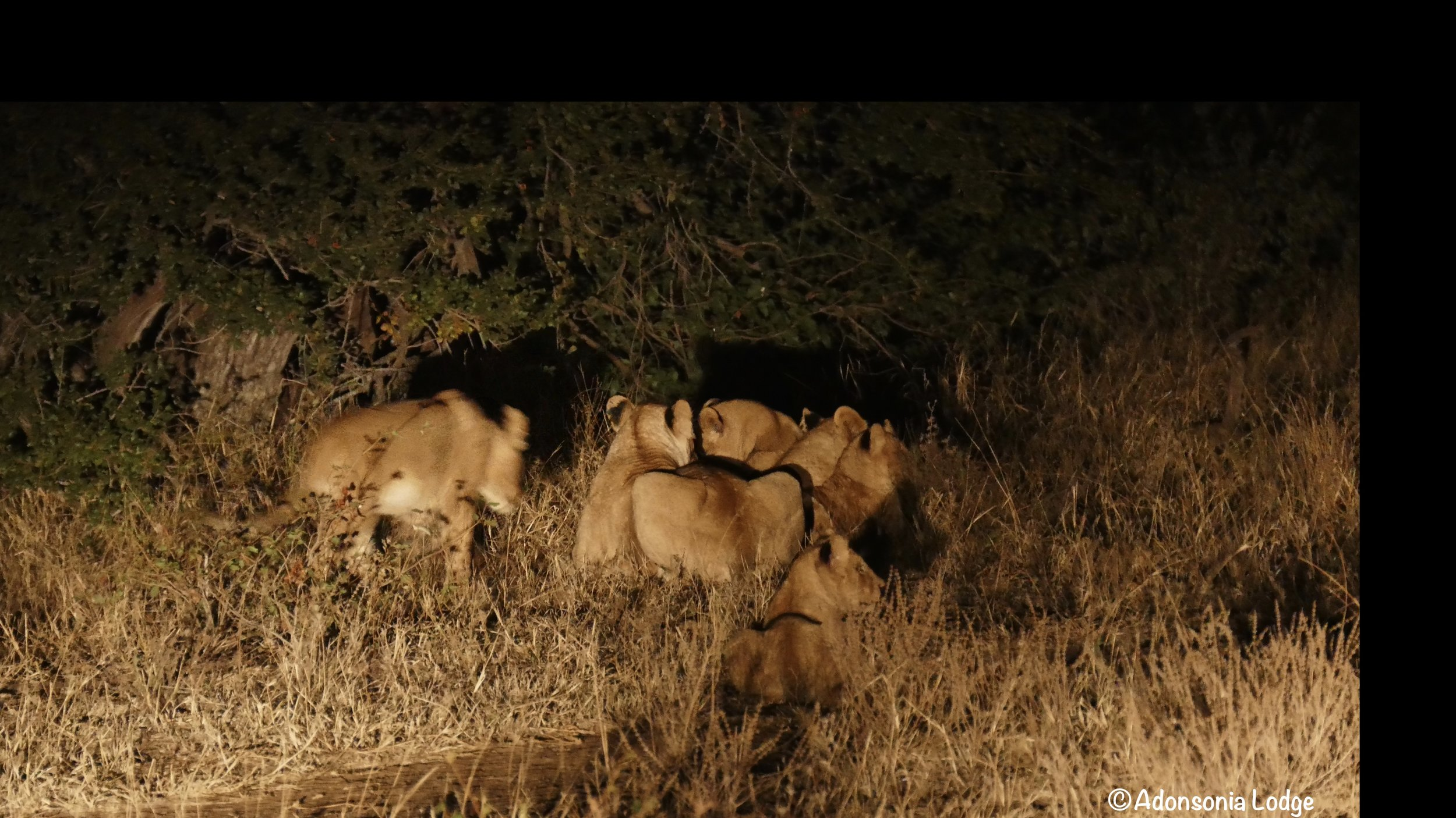 One of the lionesses with her cubs