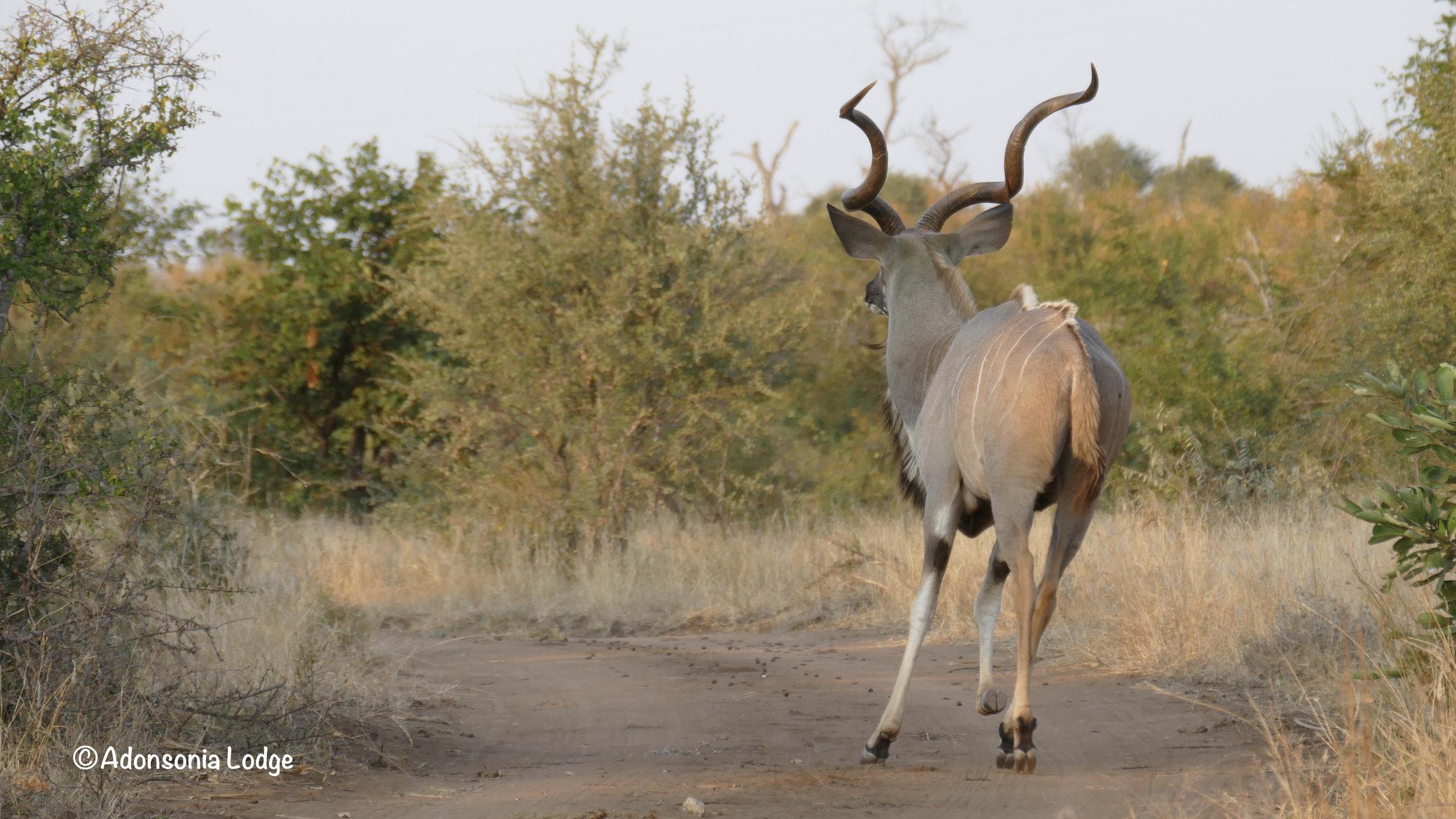 A dashing Kudu