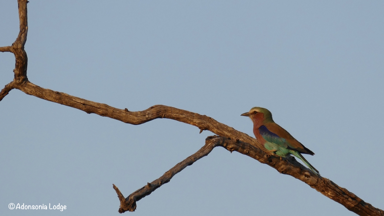 Probably South Africa's most photographed bird, the Lilac-Breasted Roller