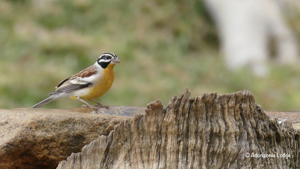 A Golden-Breasted Bunting at the birdbath.