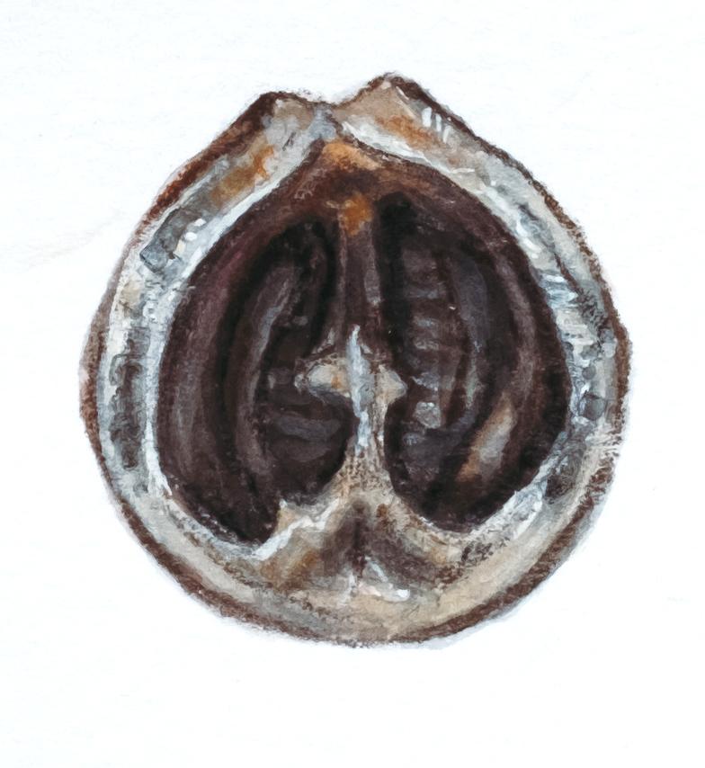 3.5.18-1587_walnut.jpg